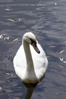 Jonge witte zwaan drijvend op het meer voor stukjes brood.