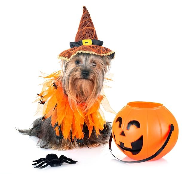 Jonge yorkshire terrier