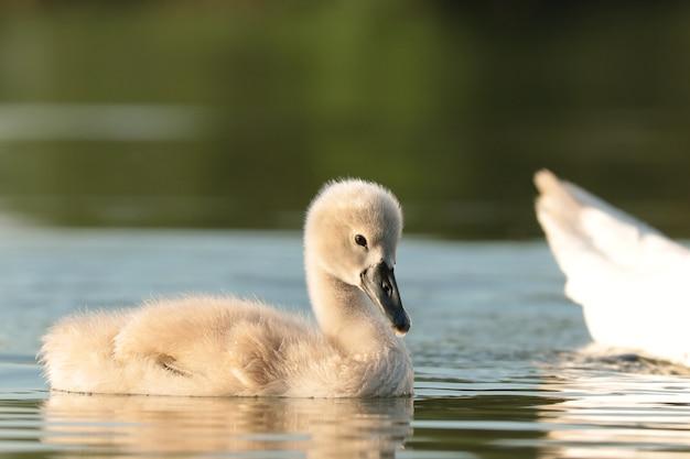Jonge zwanen volgen hun moeder op een zonnige ochtend