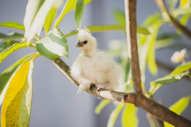 Jonge zwart-witte kip zijdeachtig in de tuin