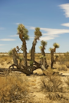Joshua tree mojave desert