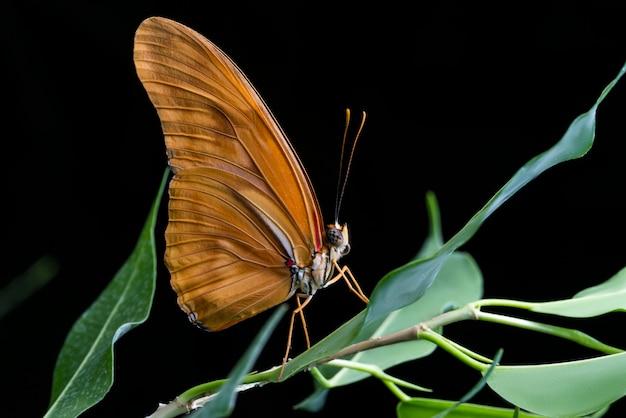 Julia-vlinder met zwarte bacground
