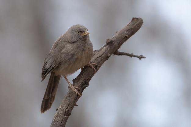 Jungle babbler vogel zat op een boomtak