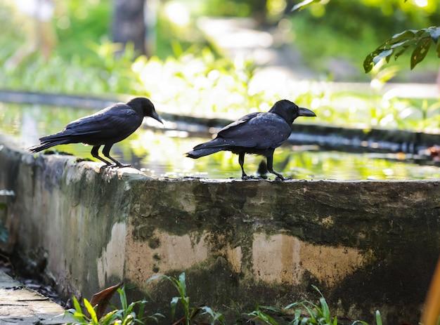 Jungle crow is aanpasbaar aan een breed scala aan voedselbronnen Premium Foto