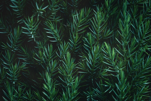 Juniper hedge textuur in donkergroene tinten close-up