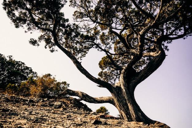 Juniper is een oorlogsboom of struik uit de cipressenfamilie. dit exemplaar groeit in het utrish nature reserve, krasnodar territory.