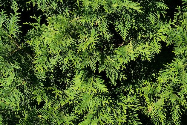 Juniper leafs close-up zomertuin textuur