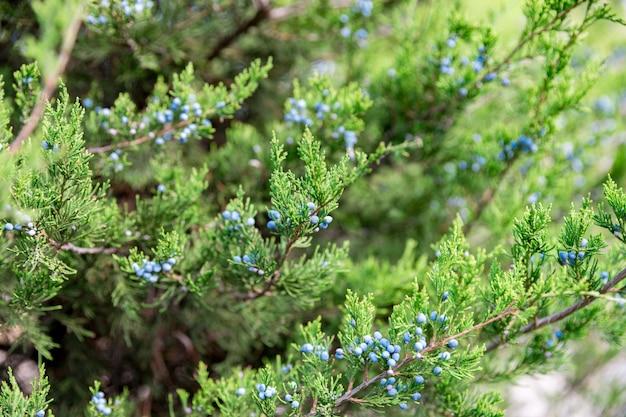 Juniper met bessen. thuja groenblijvende naaldboom close-up