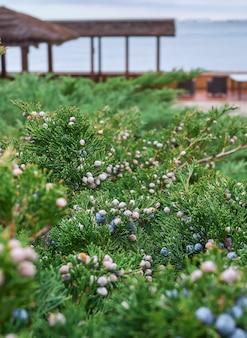 Juniper takken met bessen op de achtergrond van de winter zee.