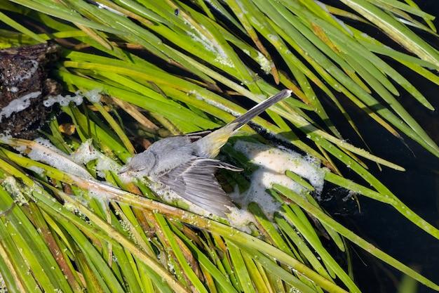Juveniele gele kwikstaart (motacilla flava) lopen op groene bladeren aan de rivier de rother in midhurst