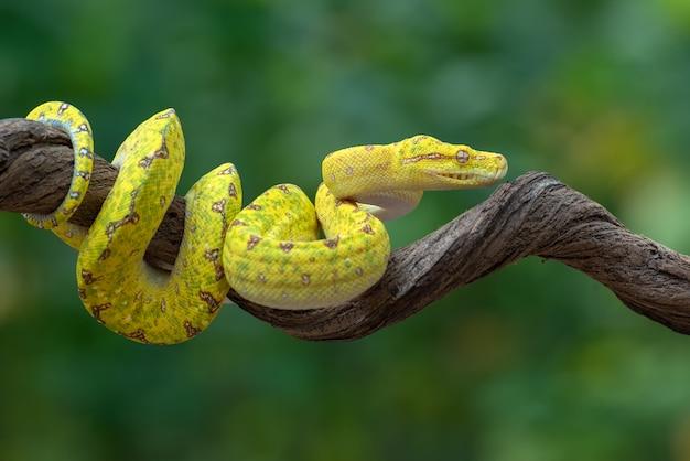 Juvenille groene boom phyton op boomtak