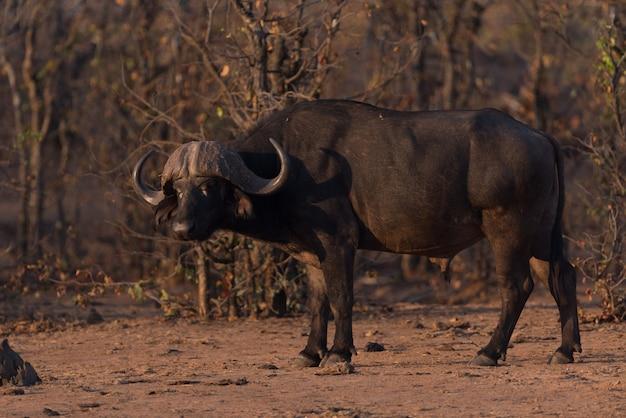 Kaapse buffels portret