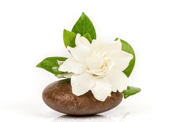 Kaapse jasmijn of gardenia jasminoides bloemen en groene bladeren geïsoleerd op een witte achtergrond.