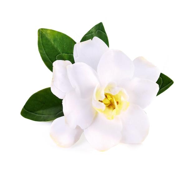 Kaapse jasmijnbloem die op witte achtergrond wordt geïsoleerd