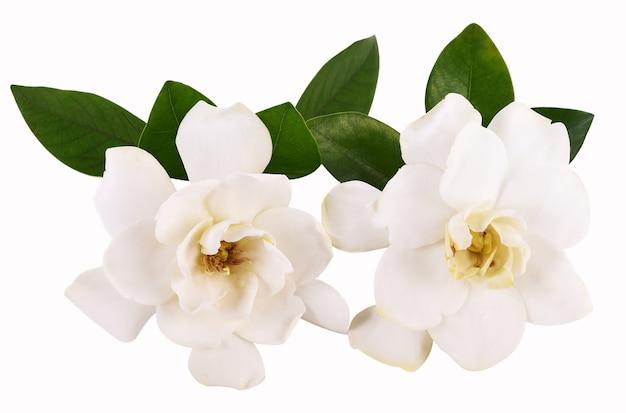 Kaapse jasmijnbloem op witte achtergrond