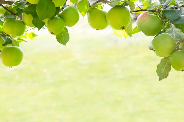 Kaderachtergrond van appelen op tak in organische tuin in ochtendlicht in openlucht wordt gekweekt, close-up dat