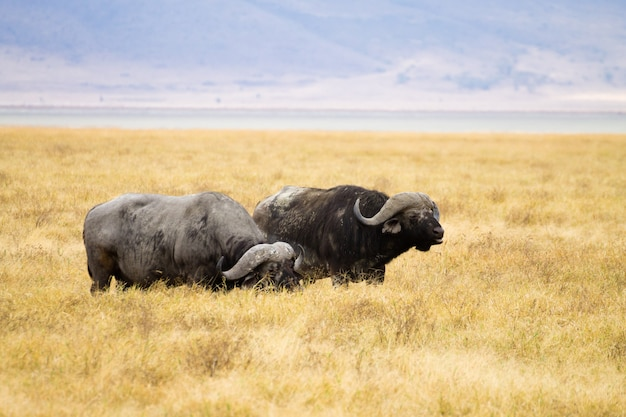 Kafferbuffel close-up