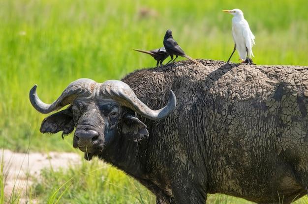 Kafferbuffel in de wei vogels zitten op hun rug in het 'murchison falls national park, oeganda, afrika