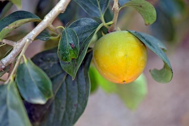 Kaki boom met rijp fruit