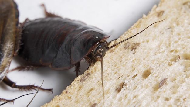 Kakkerlak die brood op witte achtergrond eet.