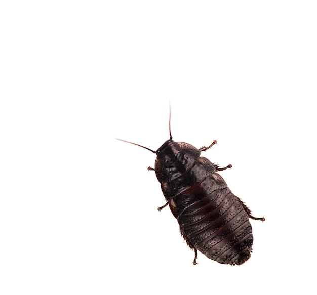 Kakkerlak die op wit wordt geïsoleerd