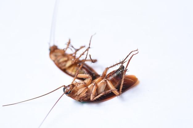 Kakkerlak geïsoleerd op witte achtergrond