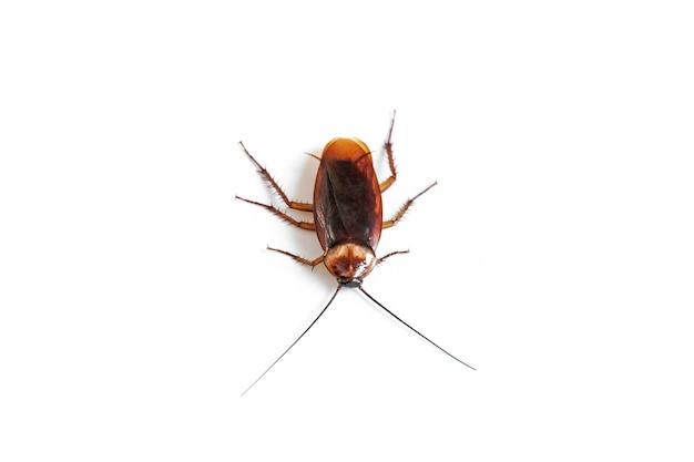 Kakkerlak op geïsoleerd wit