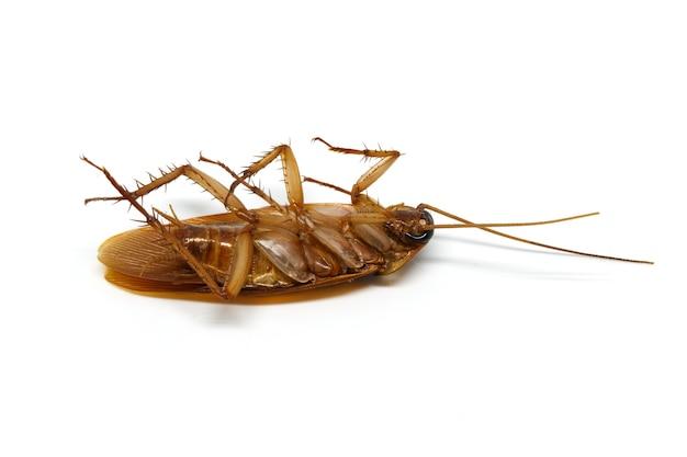 Kakkerlak op wit