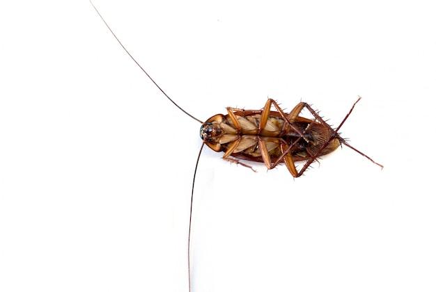 Kakkerlak op witte achtergrond wordt geïsoleerd die.