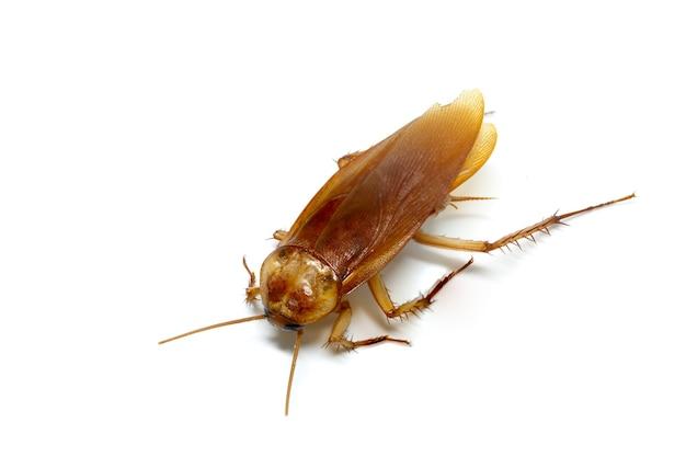 Kakkerlak op witte achtergrond