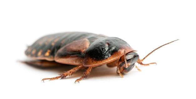 Kakkerlak tegen witte achtergrond