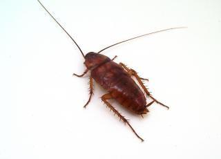 Kakkerlak, voorn
