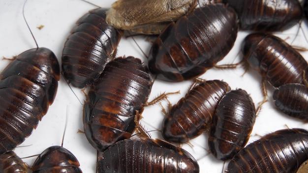 Kakkerlakken bewegen rond op witte achtergrond, 4k, selectieve focus, macro.