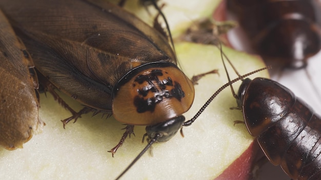 Kakkerlakken eten voedsel. insecten dragen ziektekiemen. vuile insecten. detailopname Premium Foto