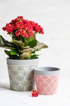 Kalanchoe blossfeldiana plant in een pot