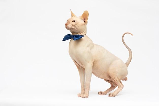 Kale kat in een vlinderdas. kat van het ras sfinx. naakte kat. een kitten zonder wol.