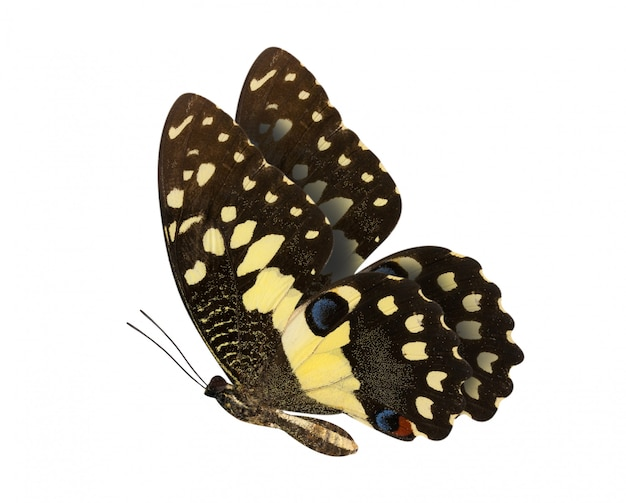 Kalkvlinder met lagere vleugels