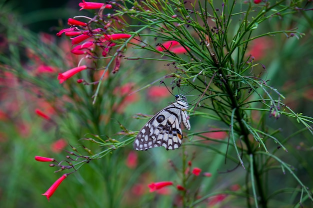 Kalkvlinder op de bloeminstallatie