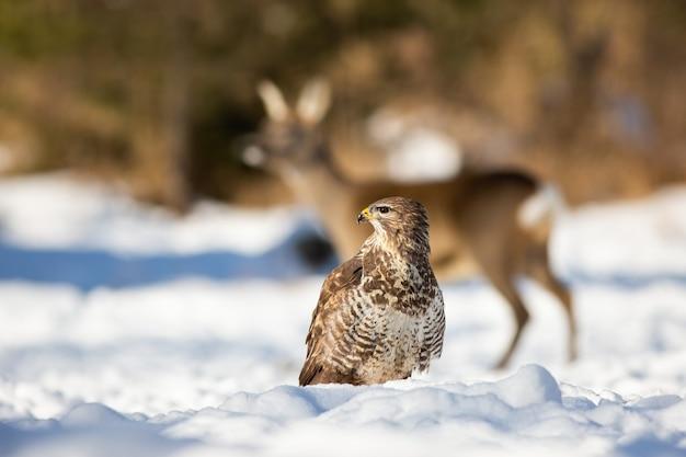 Kalme buizerd die de omgeving van het winterbos observeert.