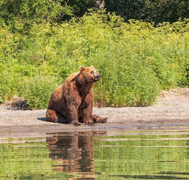 Kamchatka bruine beer op het meer