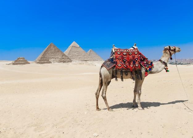 Kameel bij de piramides