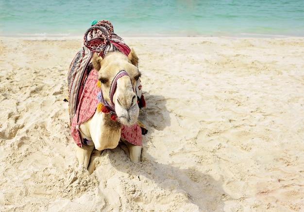 Kameel die op het strand van doubai ligt