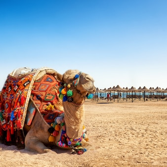 Kameel die op het strand van egypte rust.