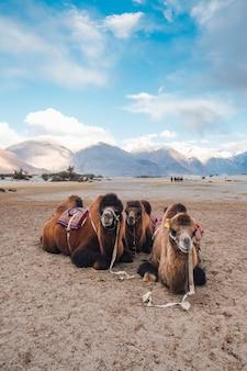 Kameel die op toerist in leh ladakh, india wacht