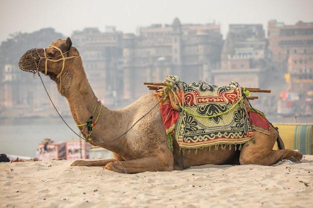 Kameel die op zand, varanasi, india rust