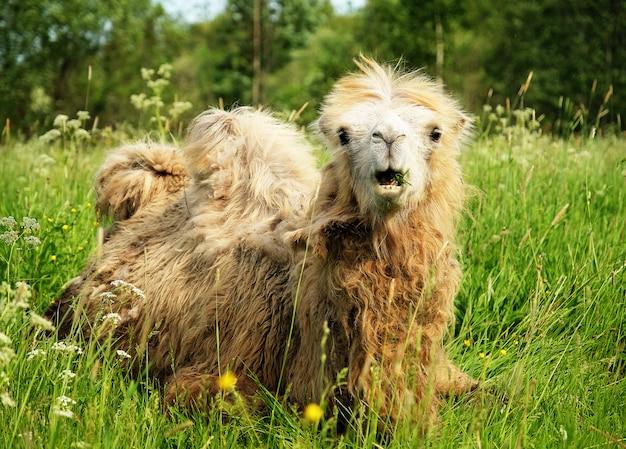 Kameel het kauwen voedsel met open mond liggen geïsoleerd op groen gras
