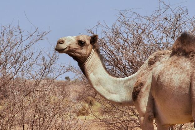 Kameel in de sahara woestijn van de soedan
