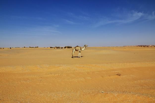 Kameel in de woestijn van de sahara in soedan, afrika