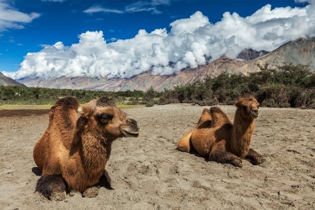 Kameel in nubra vally, ladakh