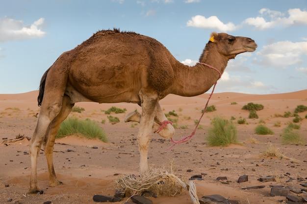 Kameel staat op drie poten, sahara woestijn